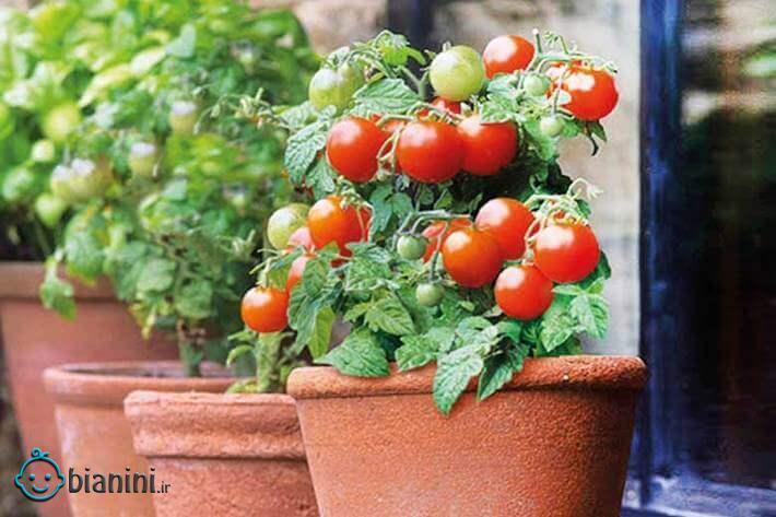 چطور در گلدان گوجه فرنگی بکاریم؟